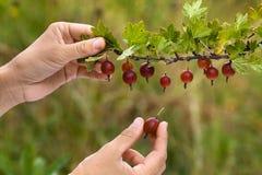 Ręki podnosi jagody agrest Fotografia Stock