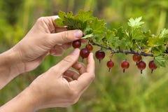 Ręki podnosi jagody agrest w ogródzie Obraz Royalty Free