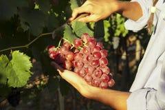 Ręki podnosi winogrona Zdjęcie Stock