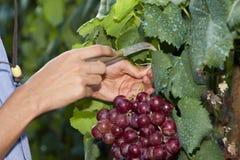 Ręki podnosi winogrona Zdjęcia Royalty Free