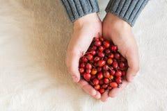 Ręki trzyma czerwone jagody Fotografia Stock