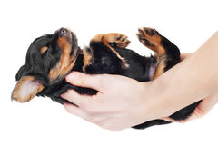 Ręki trzyma malutkiego czarnego szczeniaka Obrazy Royalty Free