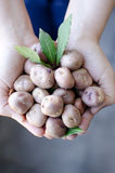 Ręki trzyma organicznie andyjskie grule Zdjęcia Royalty Free