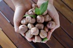 Ręki trzyma organicznie andyjskie grule Zdjęcia Stock