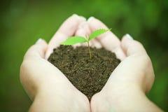 Ręki trzyma zielonego sapling Obrazy Stock