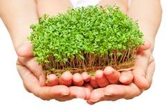 Ręki trzyma zielonej trawy Fotografia Royalty Free