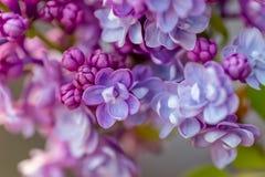 r Makro Violetta florets av den lila våren i en trädgård royaltyfri foto