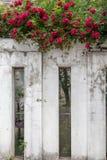 r multiflora Thunb var centifolia l Thory-Розы carnea Стоковые Фотографии RF