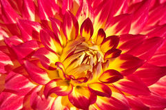 röd yellow för dahlia Arkivbild