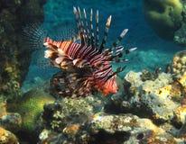 rött hav för fisk Arkivfoton