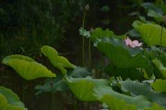 R??owa leluja Lotus z zielonym li?ciem zdjęcie royalty free