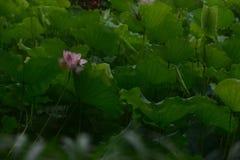 R??owa leluja Lotus z zielonym li?ciem obraz stock