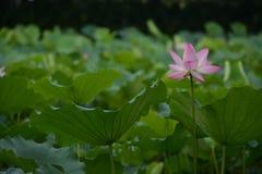 R??owa leluja Lotus z zielonym li?ciem obrazy stock