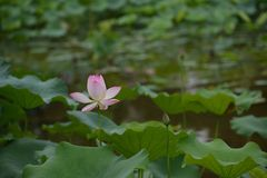 R??owa leluja Lotus z zielonym li?ciem fotografia royalty free