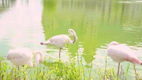 R??owi flamingi na jeziorze Kilka różowią flamingi na jeziorze z bliska Przyrody konserwaci poj?cie zdjęcie wideo