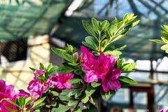 R??owi kwiaty azalie w kwiacie fotografia stock