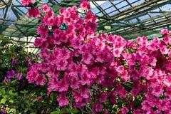 R??owi kwiaty azalie w kwiacie zdjęcia stock