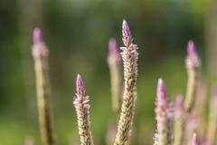 R??owy grzebionatka kwiat zdjęcia stock