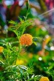 r??owy kwiat lilii Pi?kny R??owy lelui, ziele? li?cia t?o w ogr?dzie przy pogodnym dniem i zdjęcie stock