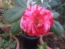 R??owy kwiat obrazy royalty free