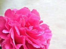 R??owy peon wiosny kwiat obraz stock