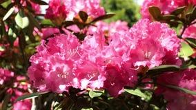 R??owy rododendronowy krzaka okwitni?cie w wio?nie pszczo?y lata od flowerhead flowerhead zbiory wideo