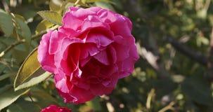 R??owy rosebud w ogr?dzie zbiory
