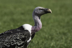 Rüppell's griffon vulture in profile Stock Photo