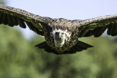 Rüppells Griffon vulture head-on in flight Royalty Free Stock Photos
