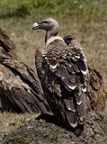 Rüppells griffon vulture, Kenya Royalty Free Stock Photo
