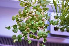 R roślinę w domu Dodatek specjalny puszkuje dla narastających ziele, rośliny, kwiaty w domu Szczegóły i makro- photography//, w g obrazy royalty free