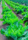 R rośliny kapuściany Ñ-n łóżko wiosłuje czerwieni ziemię na ziemi uprawnej Fotografia Stock