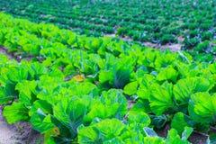 R rośliny kapuściany Ñ-n łóżko wiosłuje czerwieni ziemię na ziemi uprawnej Zdjęcia Royalty Free