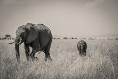 R słoń prowadzi swój łydki Zdjęcia Royalty Free