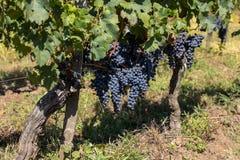 R?tt vindruvor ordnar till f?r att sk?rda och vinproduktion E arkivfoton