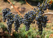 R?tt vindruvor ordnar till f?r att sk?rda och vinproduktion E royaltyfri foto