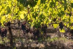 R?tt vindruvor ordnar till f?r att sk?rda och vinproduktion E royaltyfri fotografi