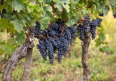 R?tt vindruvor ordnar till f?r att sk?rda och vinproduktion E royaltyfria bilder