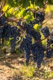 R?tt vindruvor ordnar till f?r att sk?rda och vinproduktion Medoc royaltyfri fotografi