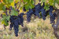 R?tt vindruvor ordnar till f?r att sk?rda och vinproduktion Sanktt Emilion royaltyfri foto