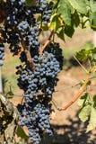 R?tt vindruvor ordnar till f?r att sk?rda och vinproduktion Sanktt Emilion royaltyfri fotografi