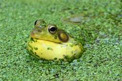 Râ verde em uma lagoa Foto de Stock Royalty Free