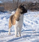 A raça Akita do cão está no inverno contra as árvores imagem de stock