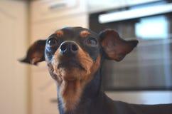 Raça alemão do cão - cão diminuto do pinscher do anão fotografia de stock