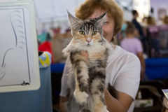 Raça bonita Maine Coon do gato Fotos de Stock Royalty Free