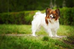 Raça bonita Papillon do cão Fotos de Stock
