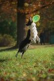 Raça border collie do cão fotografia de stock
