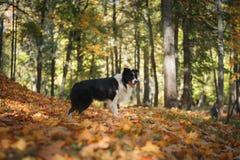 Raça border collie do cão Foto de Stock