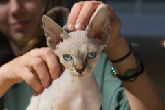 Raça branca pequena Sphynx do gato com olhos azuis Fotografia de Stock