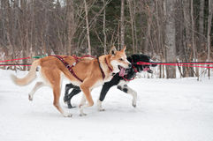 Raça canina dos atletas perto durante a raça do trenó do cão Fotos de Stock Royalty Free